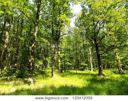 Many deciduous trees in big deciduous forest