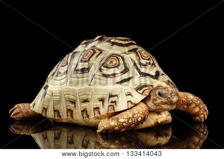 Leopard tortoise albino, Stigmochelys pardalis turtle with white shell on Isolated Black Background
