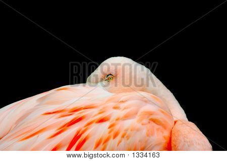Flamingo At Rest