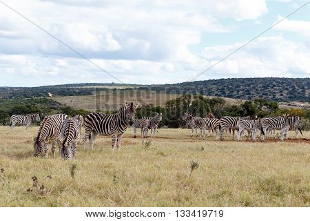 Field Of Burchell's Zebras