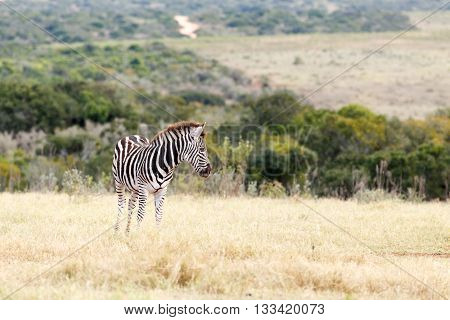 Lonely - Burchell's Zebra