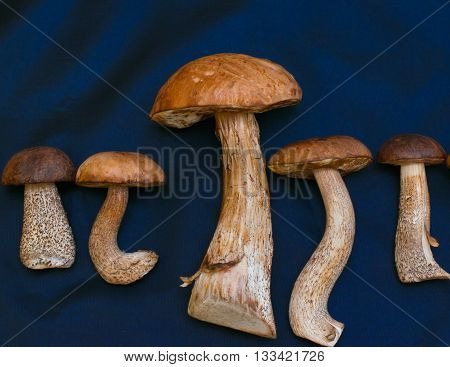 Five White Mushrooms And Brown Cap Boletus On A Blue Background