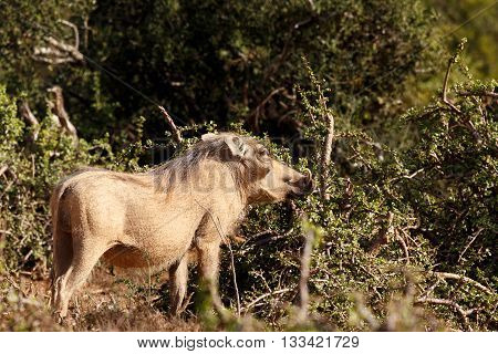 Nose Up -phacochoerus Africanus  The Common Warthog