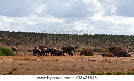 Drinking Day - African Bush Elephant