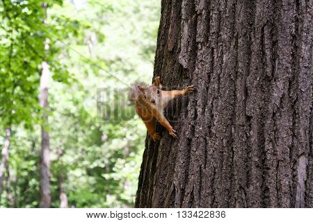 Red squirrel keeps the claws of a tree trunk in green summer forest.