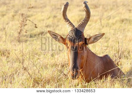 I See You - Red Harte-beest - Alcelaphus Buselaphus Caama