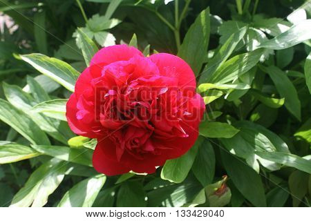 Fully open red peony bathing in sunlight in the company of green leaves.