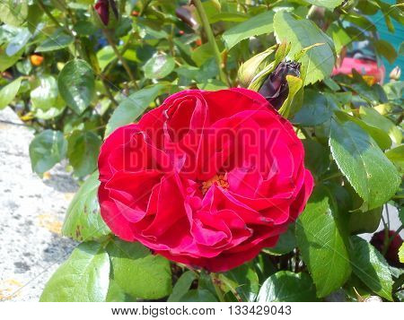 Fully open red rose bathing in sunlight in the company of green leaves.