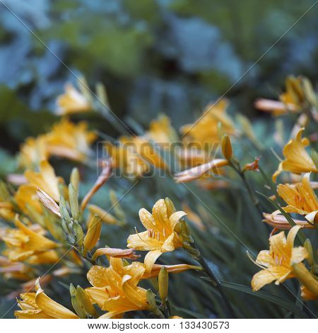 Bunch of beautiful yellow daylily flowers after rain blurred shot with particular focus