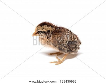 Chick. Little cute chick on white background (soft focus). Sleepy baby Chicken on white background (selective focus)