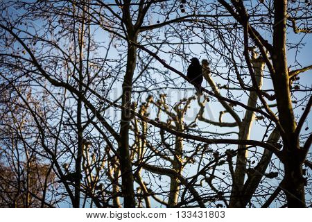 Two black starling sitting on the branches of trees against the blue sky.