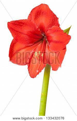 Red amaryllis flower isolated on white background