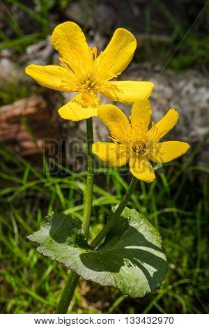 Pair of yellow marsh marigold flowers in forest