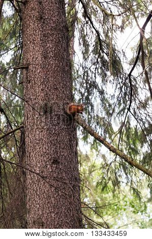 Red squirrel claws a tree trunk in green summer forest.