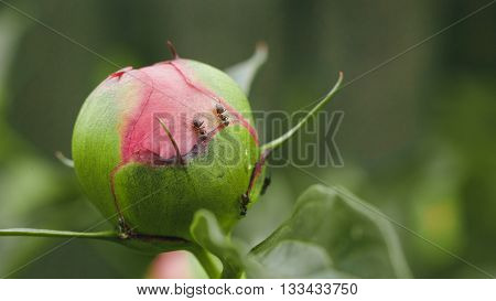 ants on the peonies and the colors on the buds. Flowers peonies in the garden