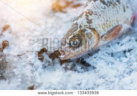 Frozen fish roach lying on ice in winter