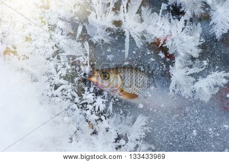 roach Fish frozen in ice in the winter in the river