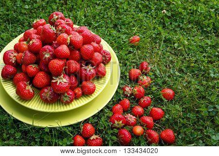 Abundance ripe organic strawberries on tableware on green grass