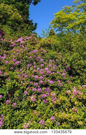 Purple Rhododendron flowers in bloom in an English formal garden