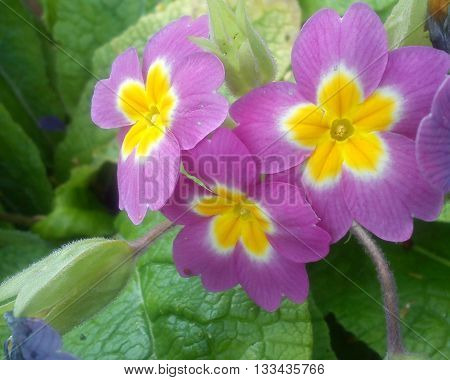3 beautiful pink flowers with yellow centres in the company of green leaves.