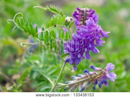 flowers, several pieces, the lilac, pink, summer period, green leaves a background, pink, the summer, green, stones, grows on stones, the nature, natural,