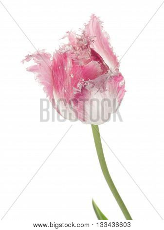beautiful pink and white tulip flower with pink fringed edges of the petals with a thin long stem isolated on white background