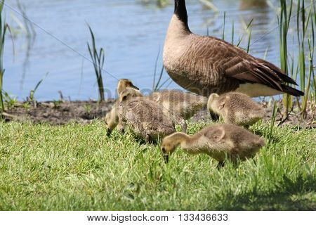 Canada goose and goslings in the grass, beside a small body of water. The Canada goose is native to North America
