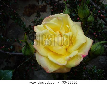 A beautiful fully open yellow rose bathing in sunlight in the company of green leaves.