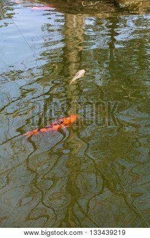 Orange and white koi swim through water's reflection of a bare tree