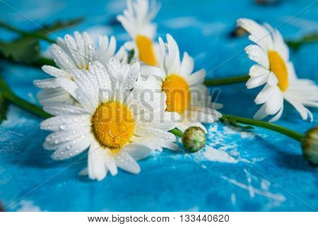 Summer Floral card with chamomile flower over blue vintage painted wooden background.