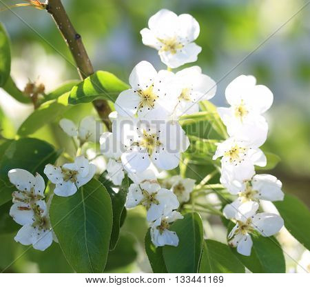 Spring apple blossom  on green blurred background