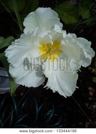 An unusual large white flower with a yellow centre.