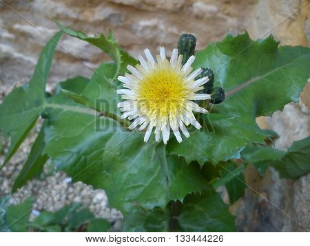 A delicate white daisy with a large yellow centre standing in the corner of a stone wall.