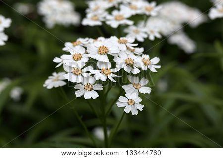 Flowers of a sneezewort or European pellitory (Achillea ptarmica)