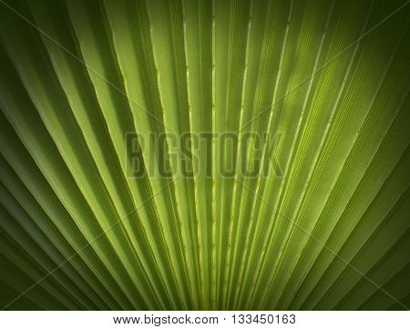 Fan Palm foliage texture with shades on it
