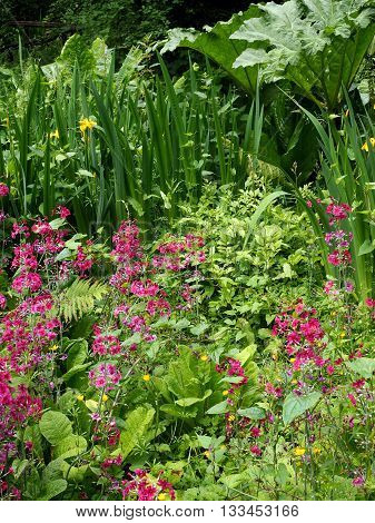 wetland garden in spring with pink primula
