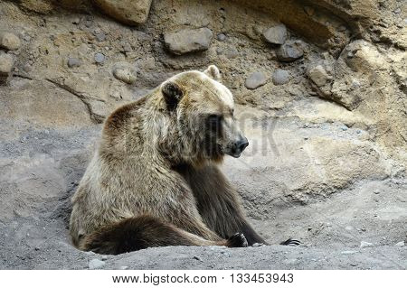 A Russian Grizzly bear in the dirt