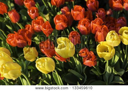 Closeup shot of beautiful red and yellow colored tulips in a tulip garden