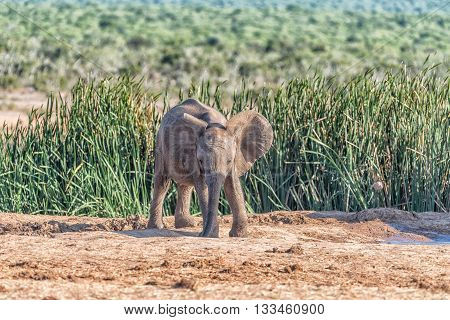 An African Elephant calf Loxodonta africana drinking water