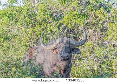 A Cape Buffalo Syncerus caffer looking towards the camera in the Eastern Cape Province of South Africa
