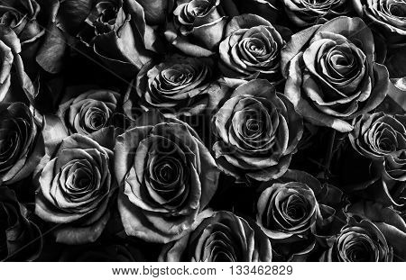 dark black roses background. natura roses background. greeting card with a luxury roses.