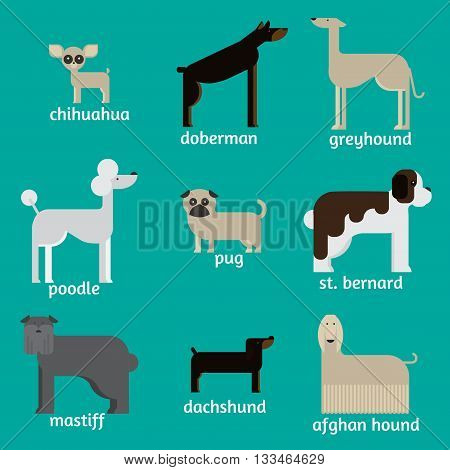 flat dog characters set, cartoon pet animal collection chihuahua, doberman andmastiff. Afgan greyhound, st bernard, pug, poodle and dachshund.