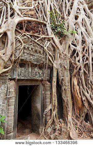 Entrance of Ta Prohm temple covered in tree roots Angkor Wat Cambodia. Vertical shot