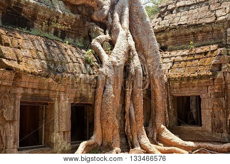 Ta Prohm temple covered in tree roots Angkor Wat Cambodia. Horizontal shot close up