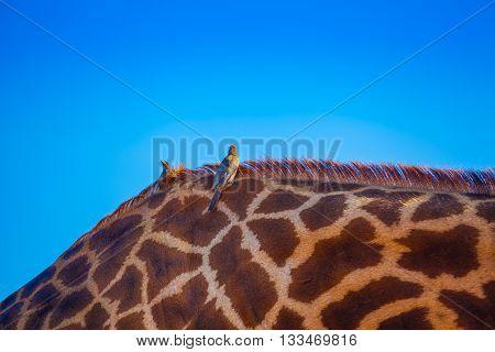 Birds Over Giraffa