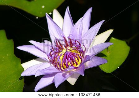 Beautiful purple waterlily flower in a pond. Waterlily. Water lily. Lotus flower. Lily flower. Beautiful flower.