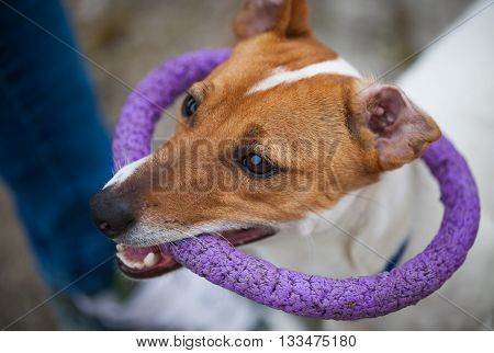 Small Jack Russell puppy playing with toy outdoors. Cute small domestic dog good friend for a family and kids. Friendly and playful canine breed