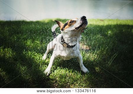 small dog breed Jack Russell Terrier shakes off water after bathing in the river on a summer day