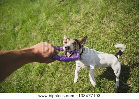 man playing with small dog breeds Jack Russell Terrier in a bright ring on the grass on a summer day
