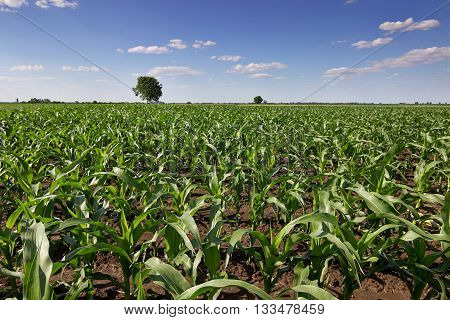 Green corn field,blue sky and sun on summer day. Green corn field, Young green corn in field, selective focus